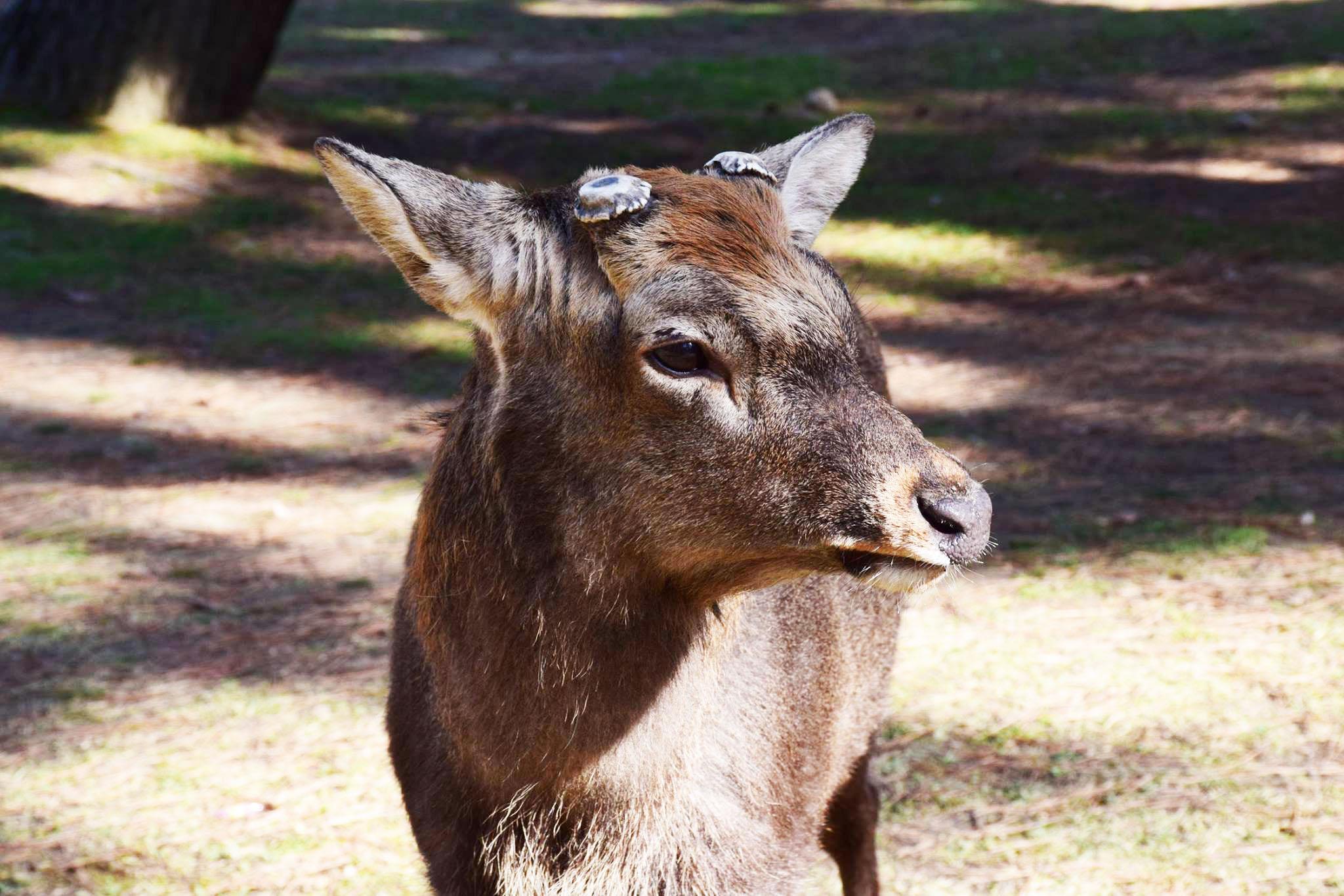 Original image of a deer