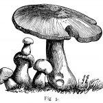 olddesignshop_mushroomsedibleboletus