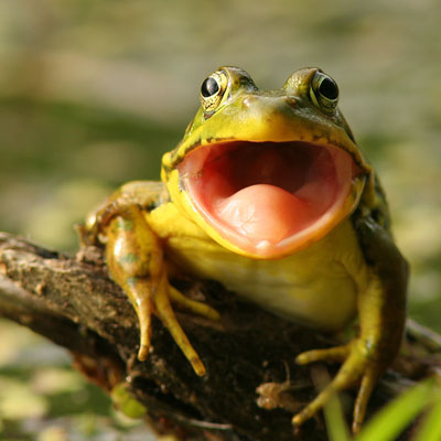 green-frog-mouth-wide-open