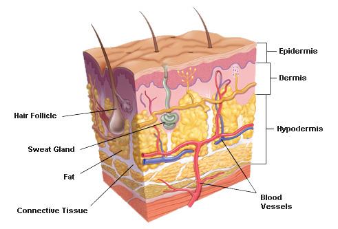 human-skin-anatomy-38067278