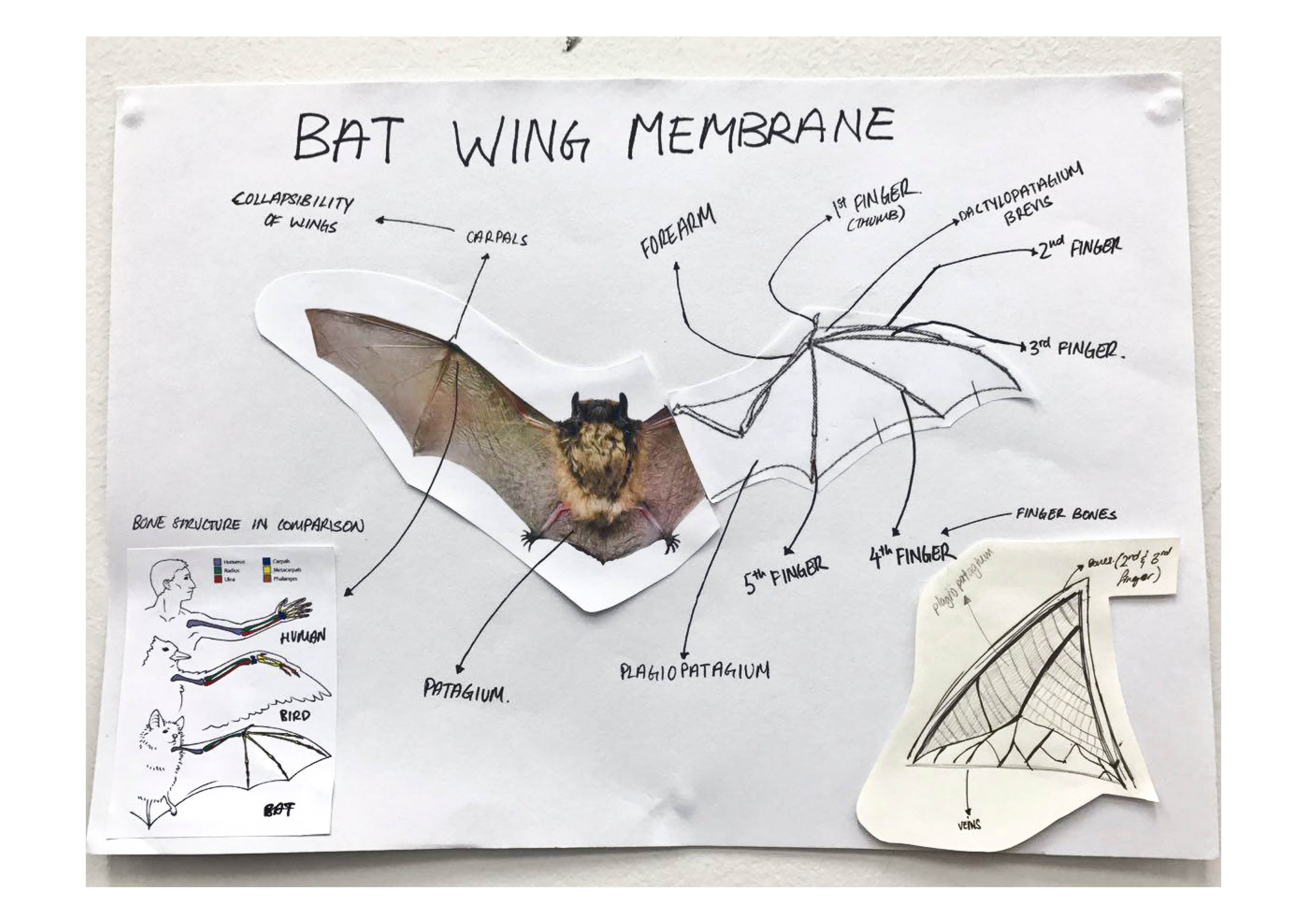 functionality & ability of the membrane  bat wing membrane