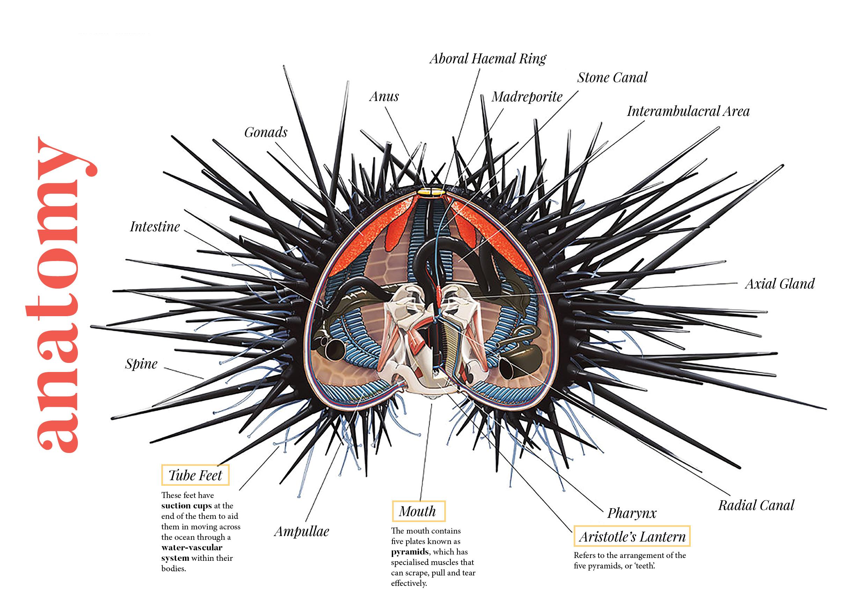 sea urchin – n i k i