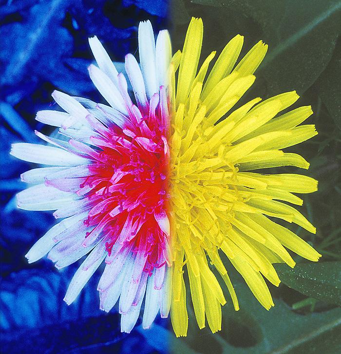 1998.05.31 Løvetann (Taraxacum sect. Ruderalia; T. officinale). Sammensatt bilde som viser blomsterkorg og bladverk i ultrafiolett (UV) og i synlig lys. Bjølsen, Oslo. © Bjørn Rørslett-NN/Nærfoto 1.4 MB IMAGE/JPEG 07.03.11 19:32:38 GPS UTM:NM,NM94,NM9846,NM983461 [Nikon F5, UV-Nikkor 105 mm f/4.5, FF filter]