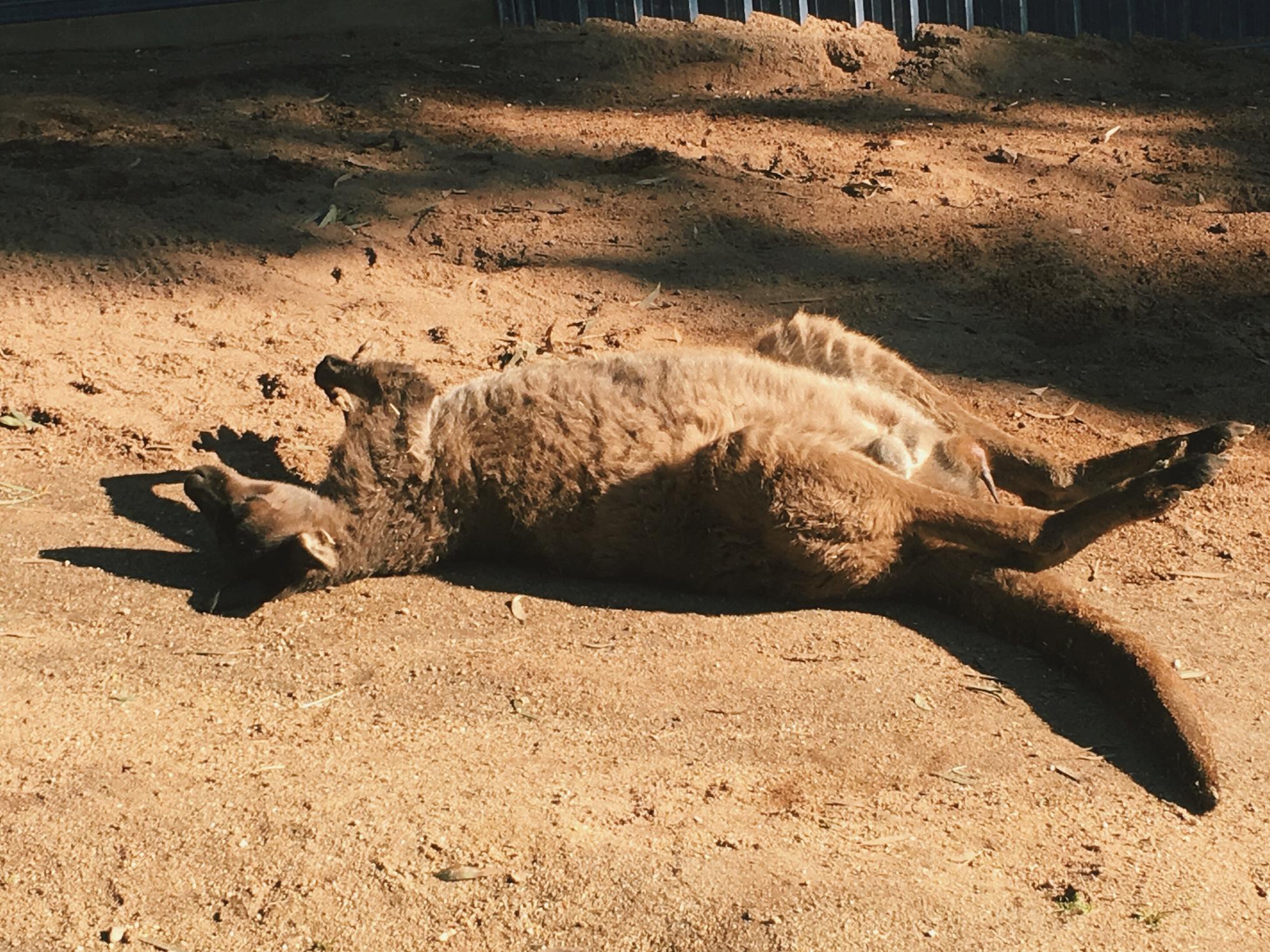 Kangaroo basking at the Ballarat Wildlife Park