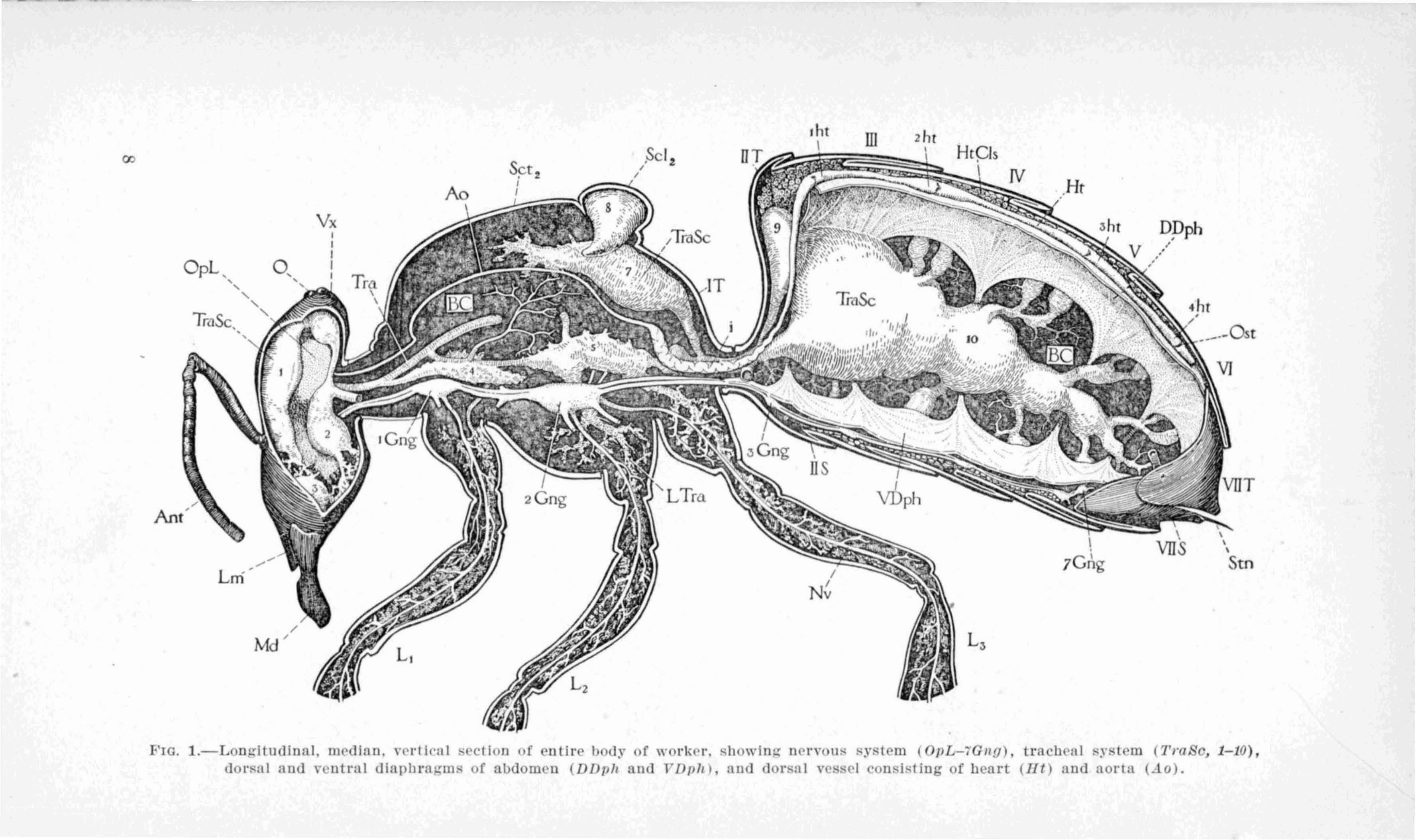 Honey Bee Biology Anatomy Teow0059