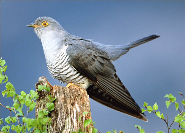 Cuckoo (Cuculus canorus) perched by birch leaves