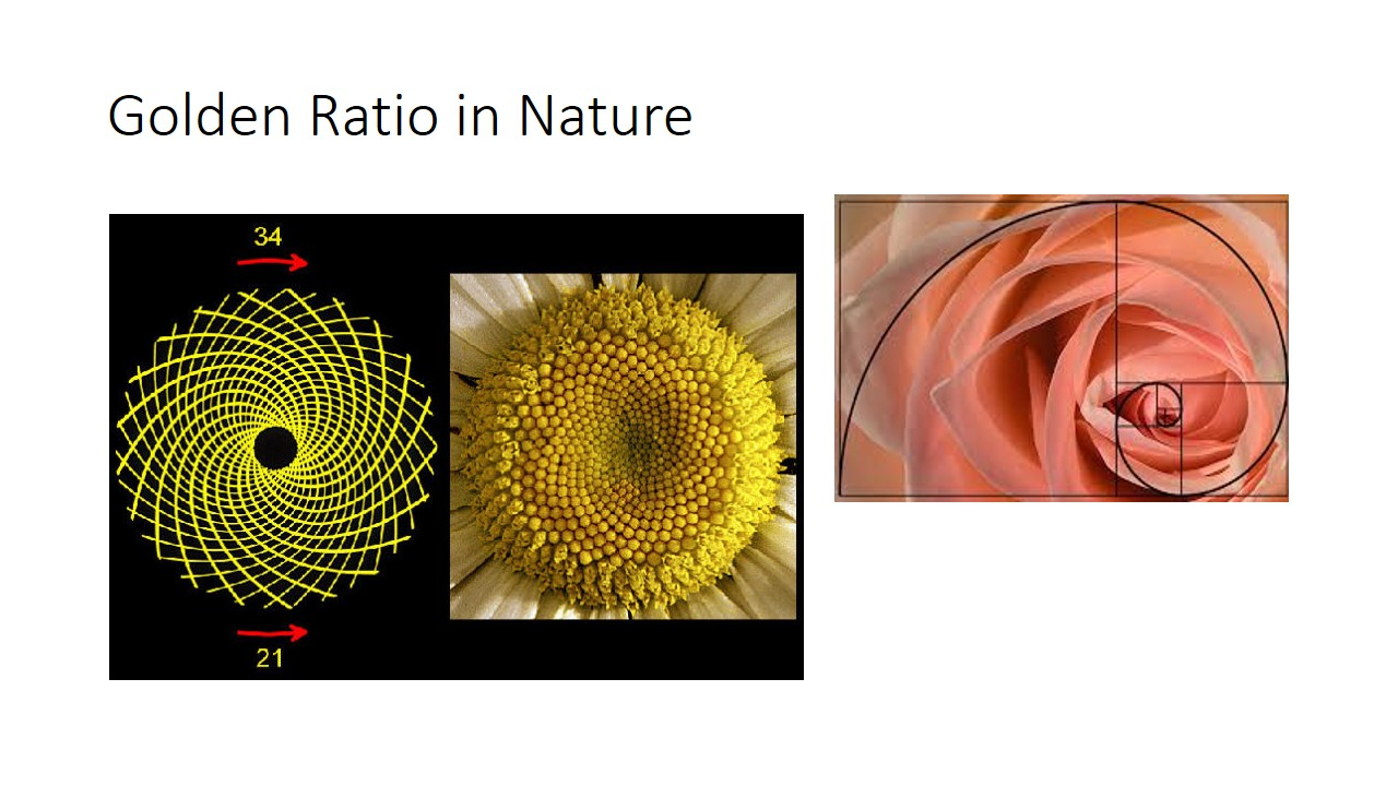 The sunflower seed head is actually made up of golden spiral in rotational symmetry as mentioned before in the above slides regarding rotational symmetry. Basically golden ratio exist almost everywhere